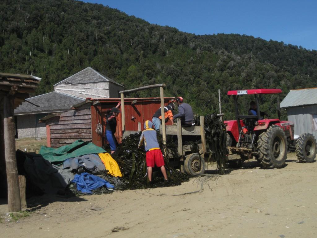 Hier Sammeln sie die Algen, die in der Regel getrocknet werden und dann als Lebensmittel in z.B. Suppen verwendet werden
